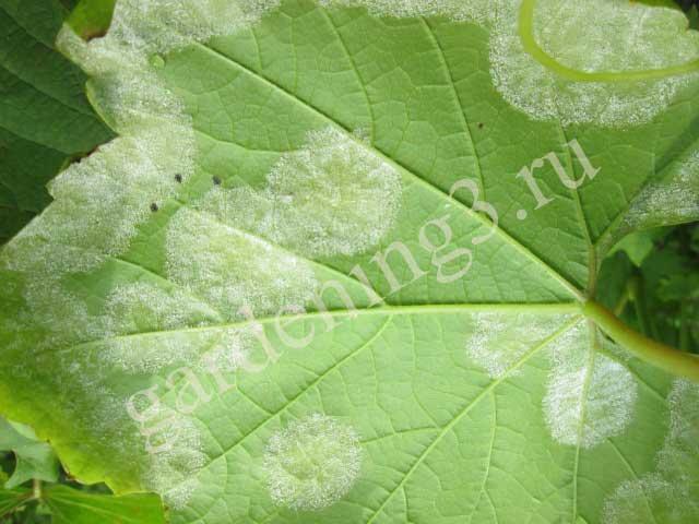 характерные признаки болезни винограда милдью