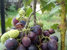 признаки болезни винограда оидиумом