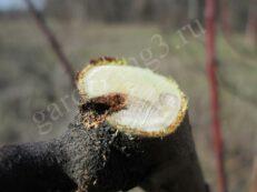 при удачном размещении вредителя при формировании кроны деревьев срезаем поврежденный участок