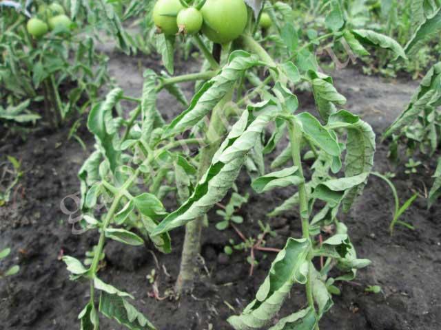 на рассаде томатов скручиваются листья и опадают