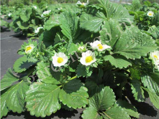 удобрение клубники весной