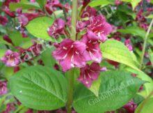 вейгела цветущий декоративный кустарник