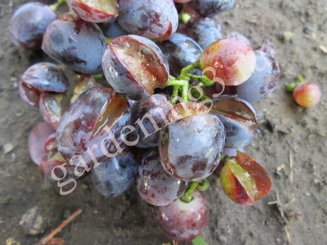 Обработки винограда от оидиума