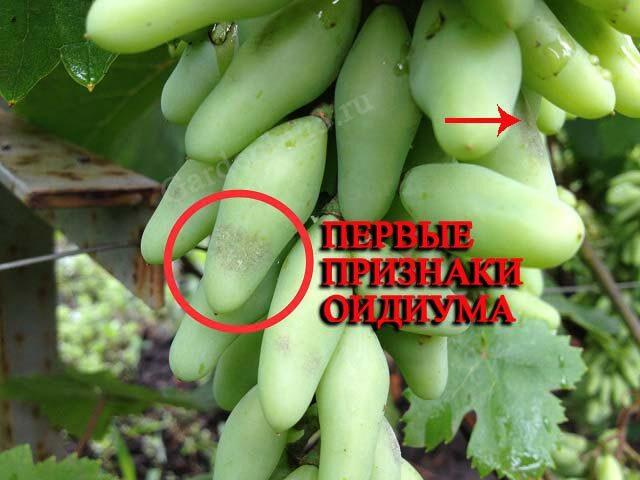 В результате развития грибковой инфекции ягоды останавливаются в развитии, засыхают или растрескиваются.