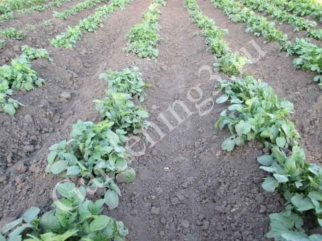 окучивание раннего картофеля