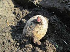 посадка картофеля для большого урожая