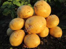 посадка раннего картофеля Ривьера