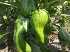 Выращивая рассаду болгарского перца в феврале, марте месяце полив проводим умеренный