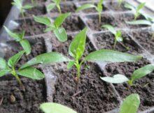 . Болгарский перец очень медленно растет, поэтому выращивать рассаду перца нужно начинать в среднем за два месяца до высадки в открытый грунт