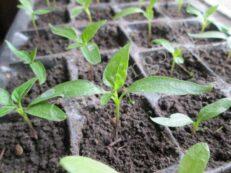 Болгарский перец очень медленно растет, поэтому выращивать рассаду перца нужно начинать в среднем за два месяца до высадки в открытый грунт