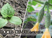 сеем семена огурцов на рассаду