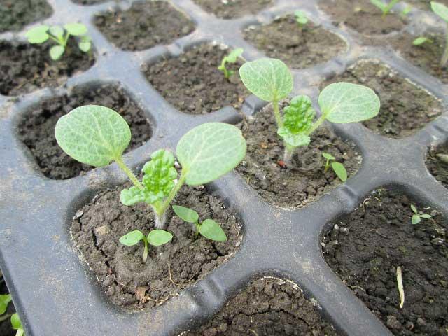 посев семя молюцеллы