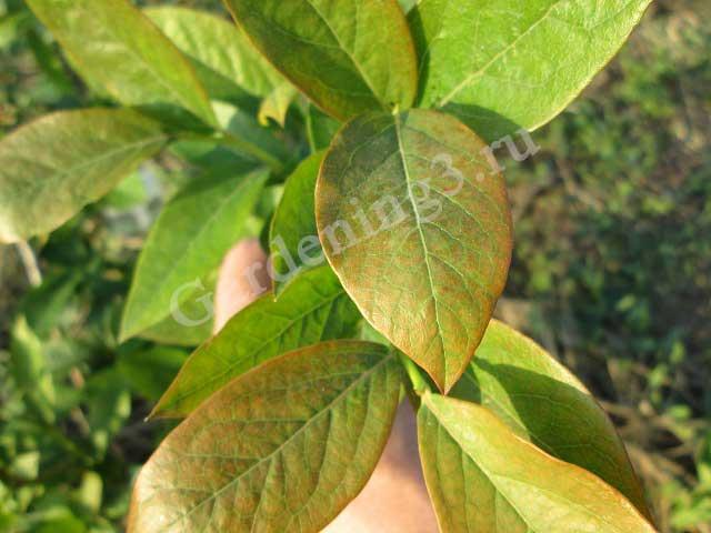 почему краснеют листья у голубики
