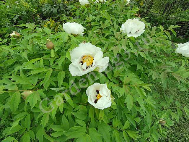 цветение древовидного пиона