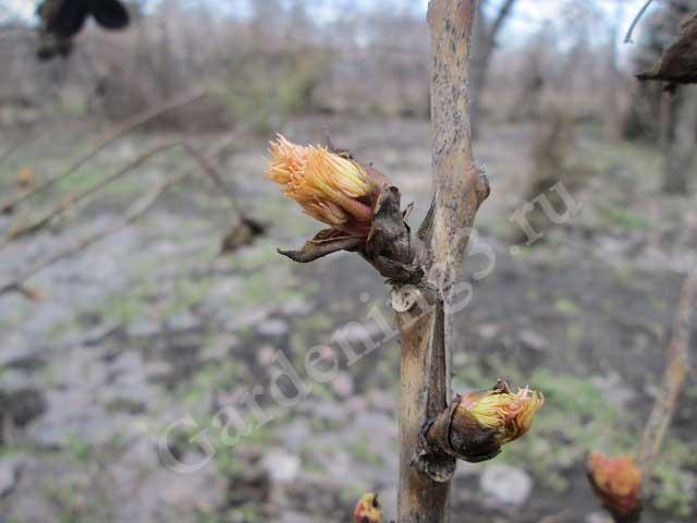 пион древовидный начало вегетации
