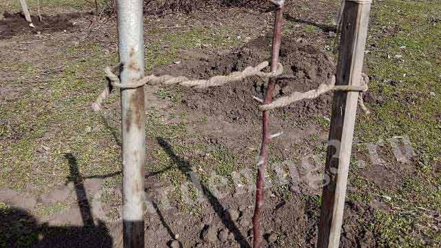 подвязка посаженных яблонь