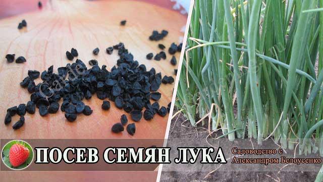 выращиваем лук из семян