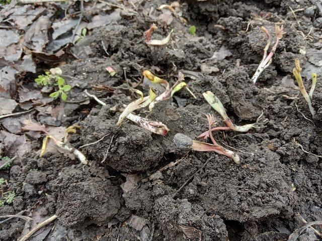 всходы семян пиона