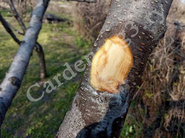 смола на дереве персика