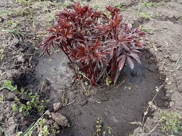 удобрение пионов весной