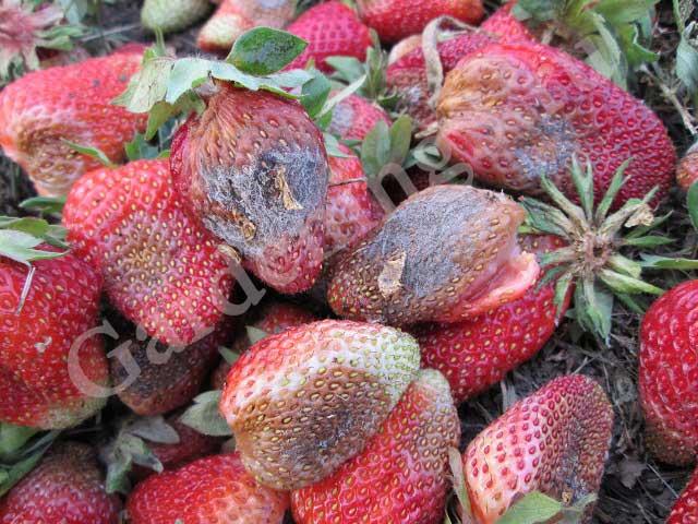 грибковая инфекция поражает ягоды клубники