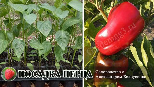 посадка болгарского перца в грунт