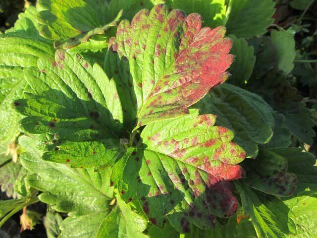 красные пятна на листьях клубники