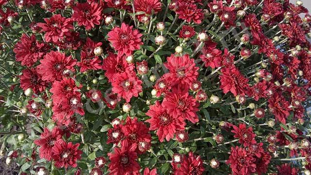 осеннее цветение хризантем