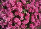 уход за хризантемой мультифлорой