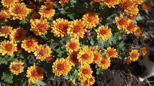 выращивание хризантемы мультифлоры