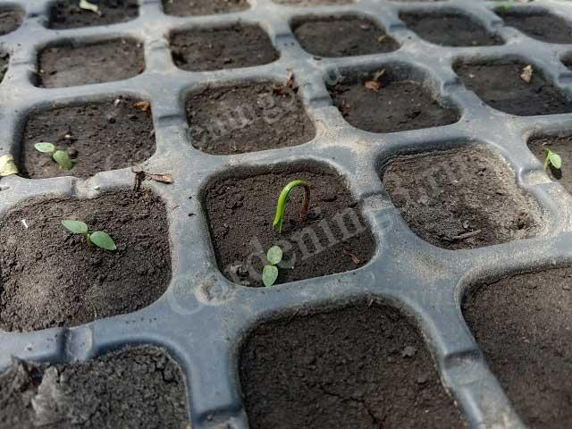 выращивание туй из семян
