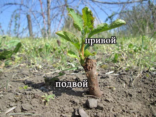 размножение яблони почкой