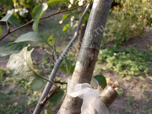 привитая почка на дереве