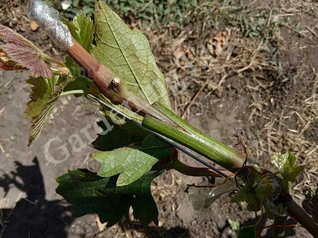 летняя прививка винограда