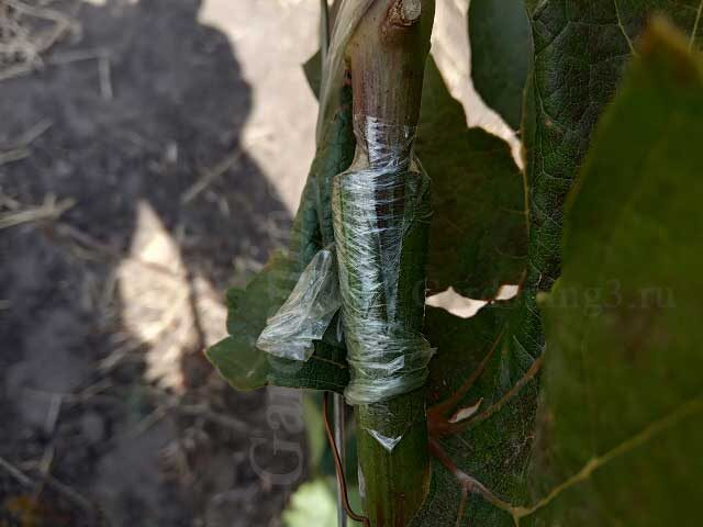 размножение винограда зеленым в зеленое