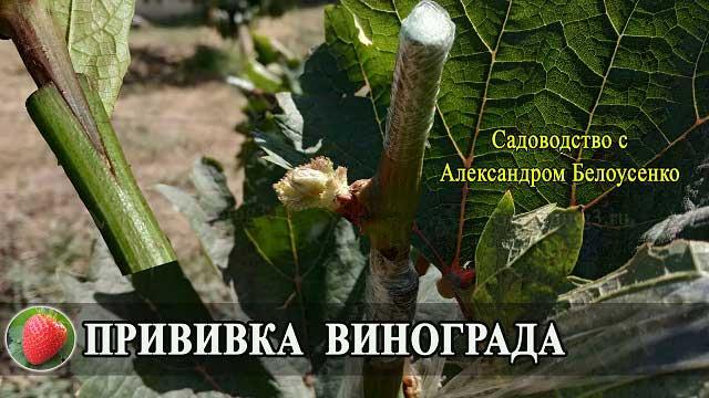 прививка винограда летом