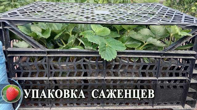 купить саженцы клубники в Украине