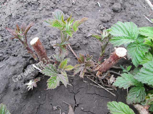 малина после посадки ранней весной