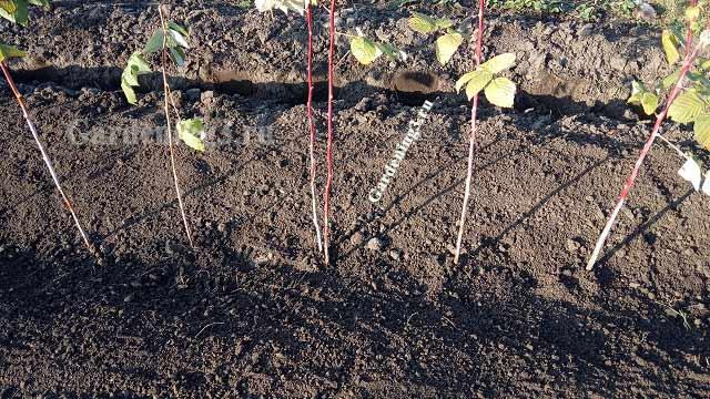 схема высадки саженцев малины