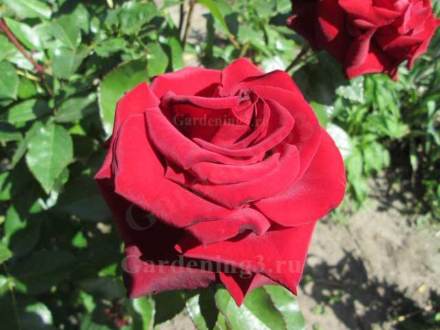 размножаем розы почкой на шиповник правильно