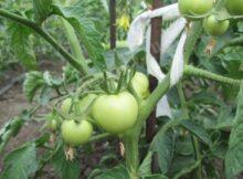 удобрение для посадки помидор