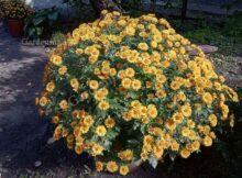 хризантема размножение