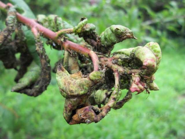 тля на плодовых деревьях