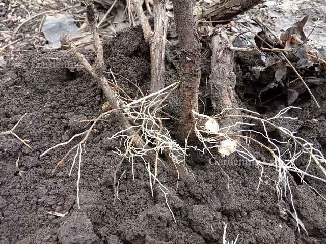 простой способ размножения древовидного пиона