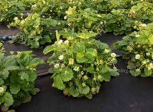 подкармливаем клубнику весной