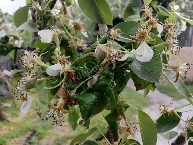 важная обработка плодовых деревьев