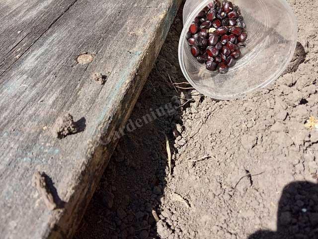 семена древовидного пиона