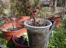 размножаем пион семенами
