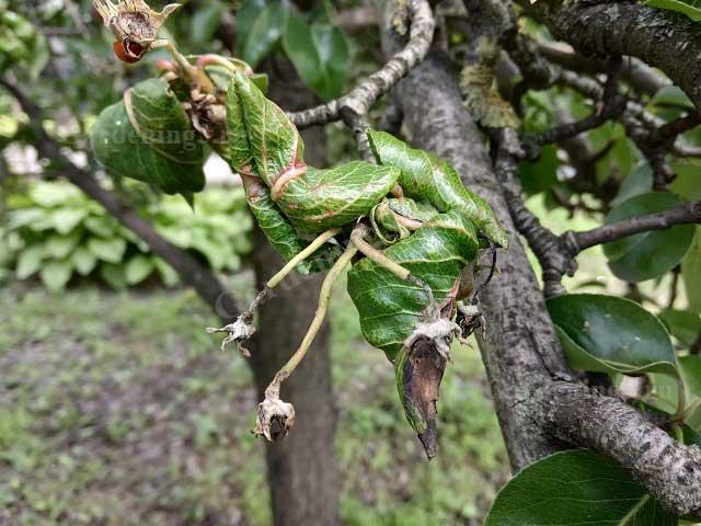 скрученные листья на деревьях