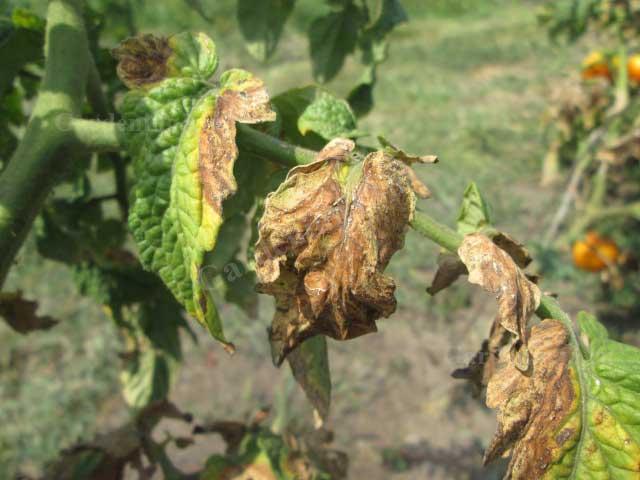 засыхание листьев помидор